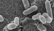 A scanning electron  microscope image of E. coli O157:H7 bacteria captured on the surface of a biosensor chip. Credit: Evangelyn Alocilja laboratory