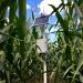 Sensor in a corn field