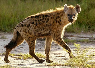 hyena social structure
