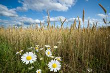A field of wheat and Chamomile flower